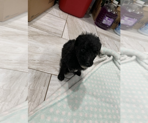 Medium Photo #3 Poodle (Standard) Puppy For Sale in TAMPA, FL, USA