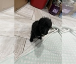 Small Photo #3 Poodle (Standard) Puppy For Sale in TAMPA, FL, USA