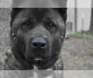 Akita Puppy for sale in LICKING, MO, USA
