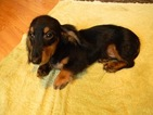 Dachshund Puppy For Sale in LAKEBAY, WA,