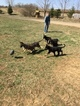German Shepherd Dog Puppy For Sale in HOPKINS, MI, USA