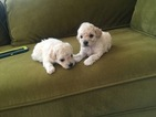 Maltese Puppy For Sale in LA HABRA, CA