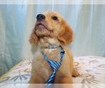 Puppy 3 Golden Retriever