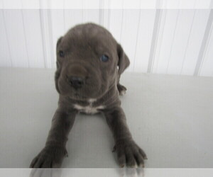 Cane Corso Puppy for sale in CINCINNATI, OH, USA