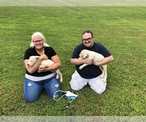 Dogo Argentino Puppy for sale in MC DONOUGH, GA, USA