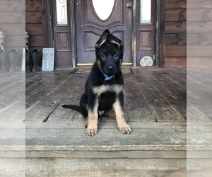German Shepherd Dog Puppy for sale in RUTHERFORDTON, NC, USA