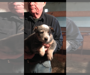Australian Cattle Dog Puppy for Sale in MIDDLEBORO, Massachusetts USA