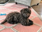 Havanese Puppy For Sale in STREET, MD, USA