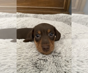 Dachshund Puppy for Sale in STONY CREEK, Virginia USA