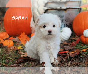 Maltipoo Puppy for sale in MIDDLESEX, NC, USA