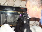 Poodle (Standard) Puppy For Sale in APPLE VALLEY, CA, USA