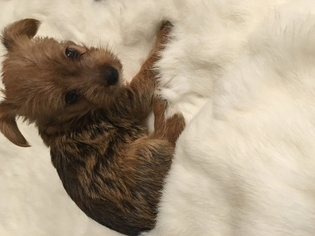 Yorkie Russell Puppy for sale in COLUMBUS, OH, USA
