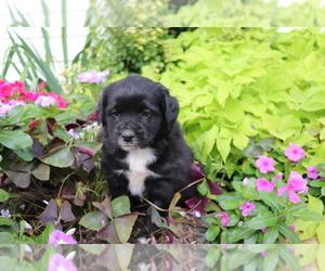 Australian Shepherd-Siberian Husky Mix Puppy for sale in SHILOH, OH, USA