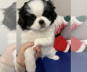 Japanese Chin Puppy for sale in SALEM, OR, USA
