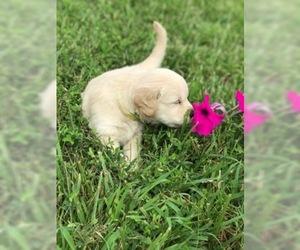 Golden Retriever Puppy for sale in WHITE POST, VA, USA