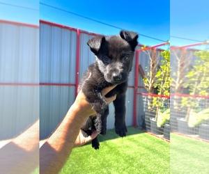 German Shepherd Dog Puppy for sale in LA TUNA CANYON, CA, USA