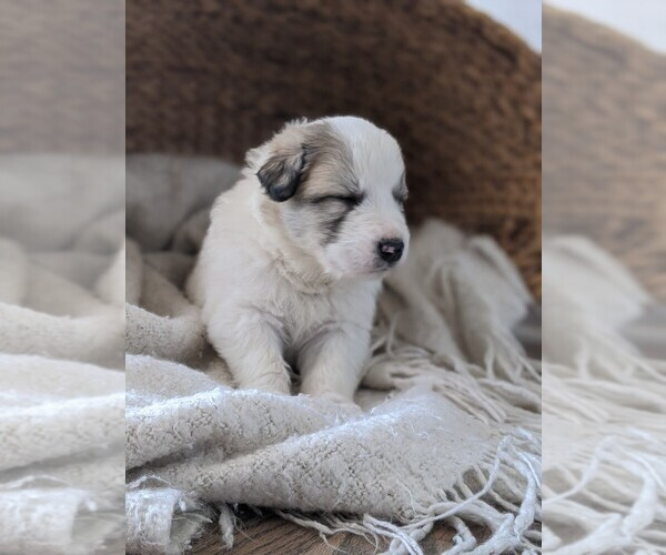 Medium Photo #48 Great Pyrenees Puppy For Sale in FALCON, CO, USA