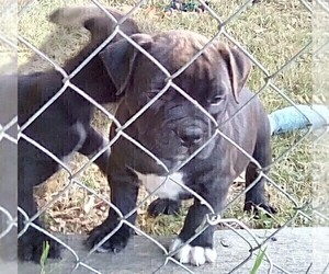 English Bulldog Mix Puppy for Sale in BROOKINGS, Oregon USA