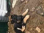German Shepherd Dog Puppy For Sale in HERMON, NY, USA