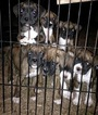 Boxer Puppy For Sale in DUNDEE, OH