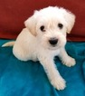 Schnoodle (Miniature) Puppy For Sale in TOCCOA, GA, USA