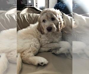 Goldendoodle-Poodle (Standard) Mix Puppy for Sale in BYRAM, Mississippi USA