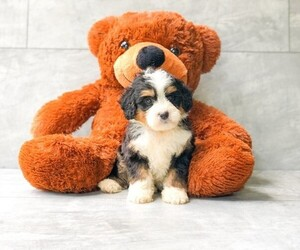 View Ad Miniature Bernedoodle Puppy For Sale Near North