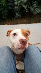 Kimmie - American Staffordshire Terrier / Mixed (short coat) Dog For Adoption