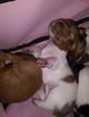Dachshund Puppy For Sale in NEW WINDSOR, New York,