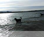 Small #44 Labrador Retriever