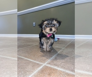 Morkie Puppy for sale in PARKTON, NC, USA