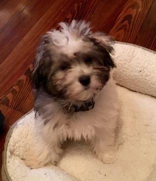 View Ad Maltipoo Puppy For Sale Near New York Sea Cliff Usa Adn