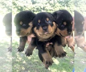 Puppies for Sale near Prattville, Alabama, USA, Page 1 (10