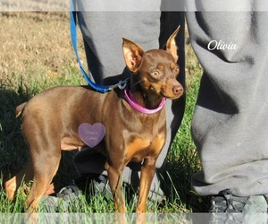 Miniature Pinscher Dog for Adoption in ELKLAND, Missouri USA