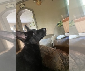 German Shepherd Dog Puppy for Sale in BEL ALTON, Maryland USA