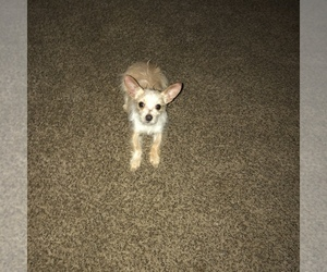 Chihuahua Puppy for sale in MEM, TN, USA