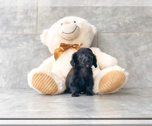 Chiweenie Dog for Adoption in CLEVELAND, North Carolina USA