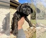 Puppy 5 Bullmastiff-French Bulldog Mix