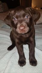 Labrador Retriever Puppy For Sale in LOS ANGELES, CA