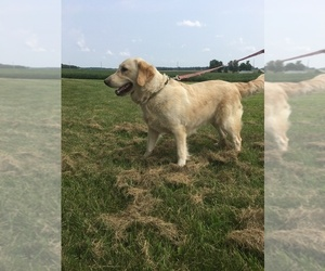 Mother of the Golden Cocker Retriever puppies born on 04/17/2019