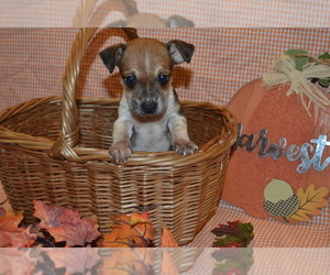 Rat Terrier Puppy for sale in TIMPSON, TX, USA