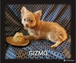 Small Photo #8 Chihuahua Puppy For Sale in MANSFIELD, TX, USA