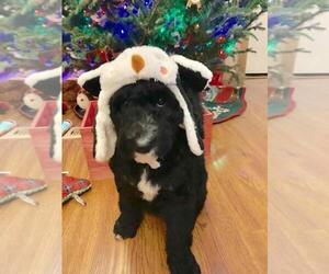 Labradoodle-Poodle (Standard) Mix Puppy for sale in LADY LAKE, FL, USA
