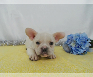 French Bulldog Puppies For Sale Near Cincinnati Ohio Usa Page 1