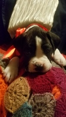 Boxer Puppy For Sale in BETHEL, CT