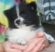 Pomeranian Puppy For Sale in ELKLAND, MO,