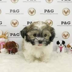 Shih Tzu Puppy For Sale in TEMPLE CITY, CA, USA