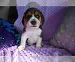 Small #18 Beagle