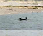 Small #46 Labrador Retriever