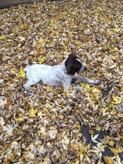 German Wirehaired Pointer Puppy For Sale in ARLINGTON HEIGHTS, IL